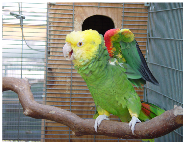 اطلاعات کلی از طوطی های آمازون