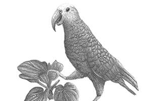 گونه جدید طوطی از جزایر چتم