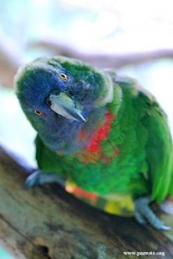 طوطی آمازون گردن قرمز Red necked Amazon طوطی آمازون گردن قرمز (Red necked Amazon)