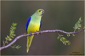 طوطی بال آبی (Blue-Winged Parrot)