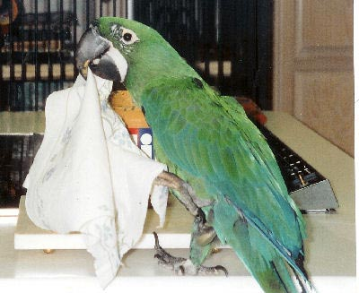 ماکائو دو رگه ی میلیسینت ماکائو دو رگه ی میلیسینت (Milicinth Macaw Hybrid)