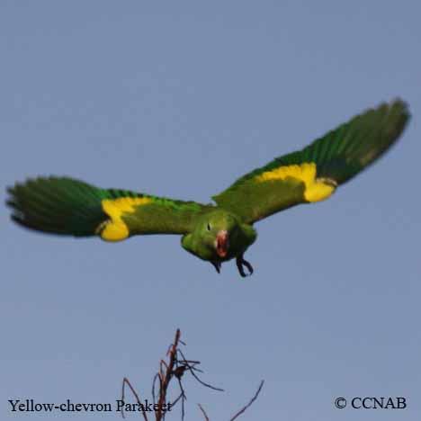 پاراکیت درجه زرد (Yellow-chevroned Parakeet )