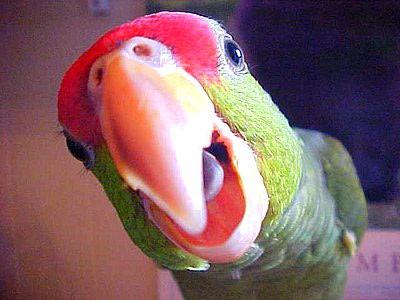 چطور به طوطی خود سخن گویی را یاد دهیم؟ (How to Teach Your Parrot  to Talk)