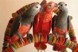 کاسکو قرمز (red african grey parot)