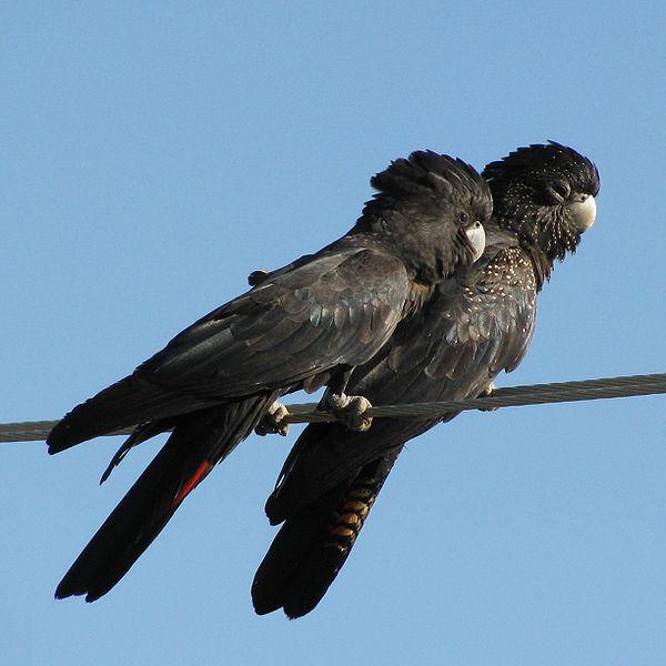 کاکادو سیاه