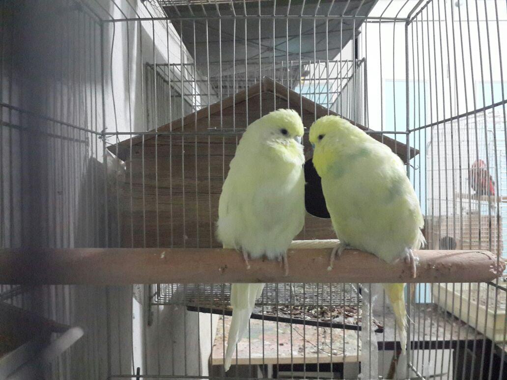 مرغ عشق هلندی مولد