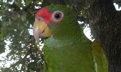 طوطی صورت قرمز گونه جدید کشف شده در مکزیک