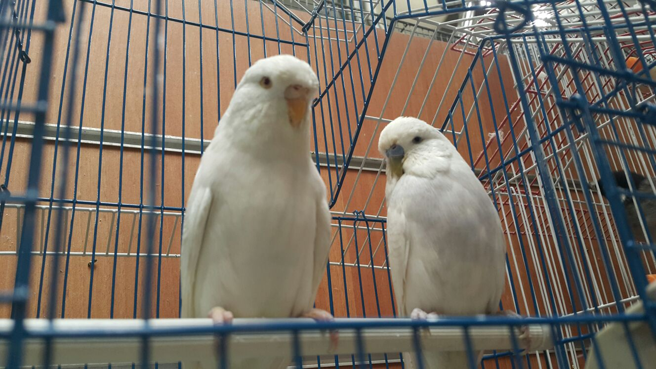 مرغ عشق هلندی آلبینو مولد