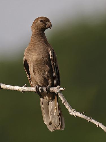 طوطی سیاه سیشل (Seychelles Black Parrot)