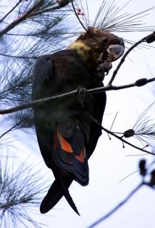 کاکادو براق سیاه