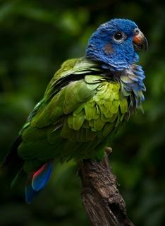 طوطی سر آبی