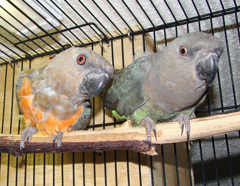 772px-Red-bellied_Parrot_pair_in_a_cage