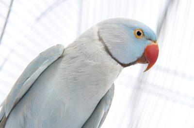 تشخیص سن طوطی ملنگو