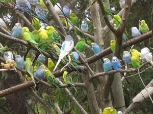 800px Melopsittacus undulatus flock 300x225 مرغ عشق