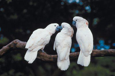 آموزش صحبت کردن به طوطی کاکادو