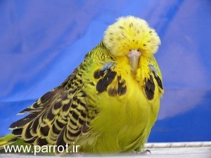 P10309571 300x225 مرغ عشق هلندی