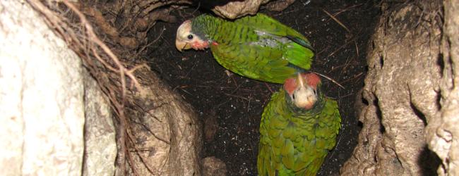 زیر گونه باهاما از طوطی آمازون کوبا در حفره های زیر زمینی زندگی می کنند