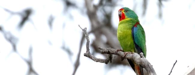 پروژه پرورش طوطی سوییفت توسط پرورش دهندگان خصوصی