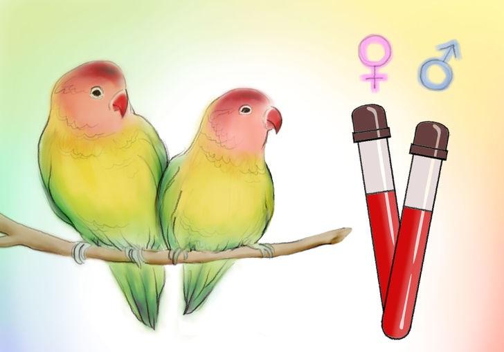 تعیین جنسیت طوطی کوتوله برزیلی