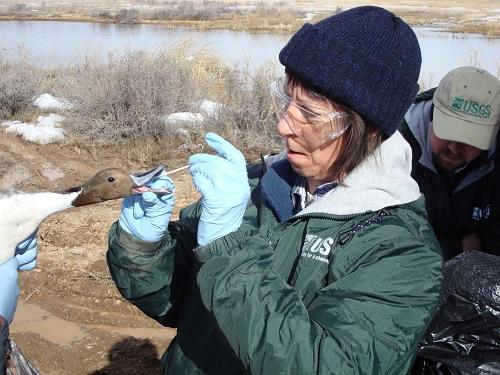 آنفولانزای پرندگان چیست؟ همانند انسان ها پرندگان نیز آنفولانزا دارند که اغلب با عنوان آنفولانزای مرغی نیز مشهور می باشد. این بیماری در میان پرندگان رایج است و عامل آن یک ویروس است که از طریق بزاق ، ترشحات دهان یا بینی از پرنده ای به پرنده ی دیگر منتثل می گردد. دیگر پرندگان حساس چنان چه در صورت عدم حضور پرنده ی آلوده با مدفوع یا ترشحات آن تماس پیدا کنند به راحتی به این بیماری مبتلا خواهند شد.