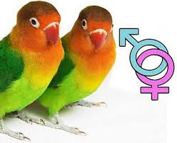 تعیین جنسیت طوطی برزیلی