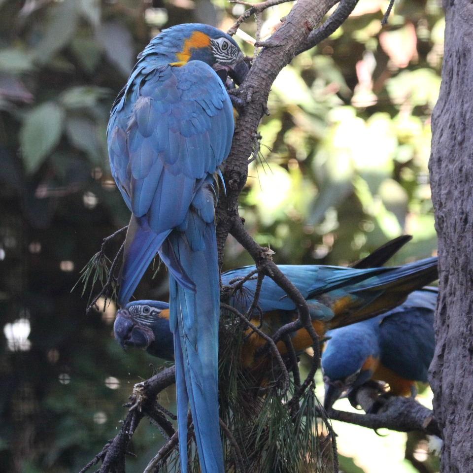 macaw bluethroat1 ماکائو گلو آبی ( Blue throated Macaw)