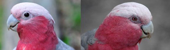 تشخیص جنسیت طوطی کاکادو