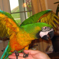 miligold macaw ماکائو هیبرید میلی گلد (Miligold Macaw)