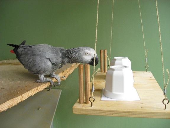 parrot experiment 110621 طوطی های باهوش مانند یک انسان 4 ساله فکر می کنند