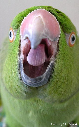 parrot puberty مراحل زندگی طوطی ها