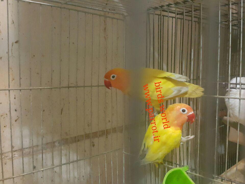 فروش انواع لاوبرد در رنگ های مختلف فقط در دنیای پرندگان