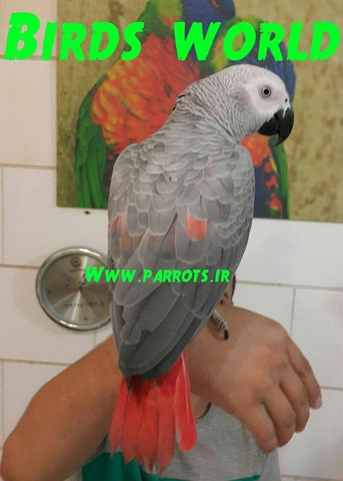 http://www.parrot.ir/%d9%81%d8%b1%d9%88%d8%b4-%d8%b7%d9%88%d8%b7%db%8c/