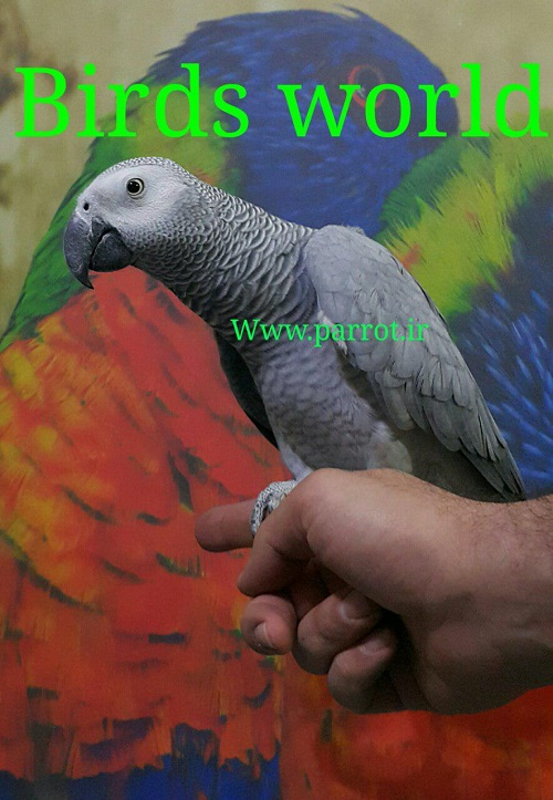 فروش طوطی کاسکو دستی 2 ساله باهوش