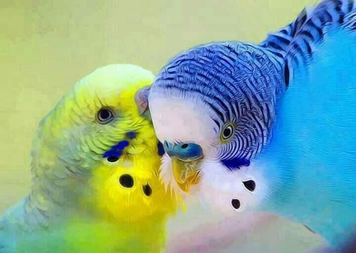 فروش طوطی مرغ عشق جفت خورده