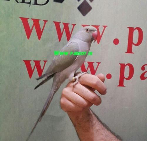 فروش جوجه طوطی ملنگو آبی