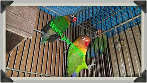 فروش یک جفت مولد طوطی برزیلی