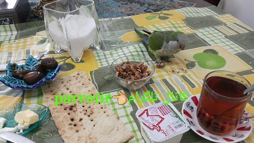 فروش سامی طوطی برزیلی سر خاکستری