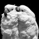 کاکادو کاکل سفید