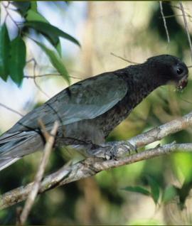 طوطی سیاه