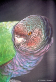 طوطی آمازون امپراتور