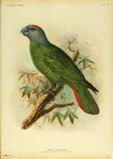 طوطی آمازون مارتینیک