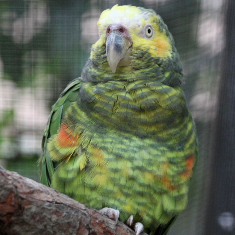 طوطی آفریقایی صورت زرد(African Yellow Faced Parrot)